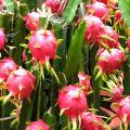 12-Manfaat-buah-naga
