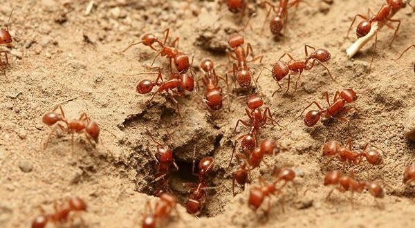 Belajar dari Semut untuk Bertahan di Rumah